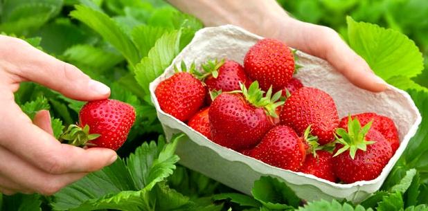 Erdbeeren wirken positiv auf unsere Blutzuckerwerte