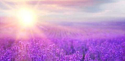 Lavendel gegen Depressionen