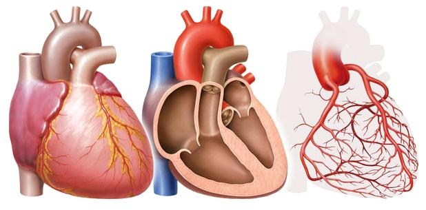 Wenn der Herzmuskel entzündet ist, sprechen Ärzte von einer Myokarditis