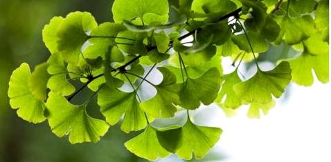 Ginkgo-Baum wirksam bei ADHS