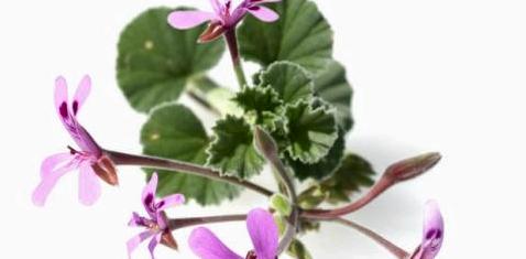 Kapland-Pelargonie beugt Sommergrippe vor