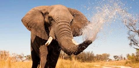 Elefanten bekommen selten Krebs