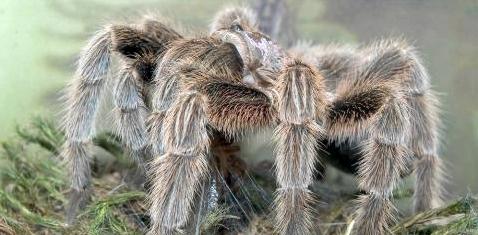 Kann ein Spinnengift bald als Schmerzmittel eingesetzt werden?