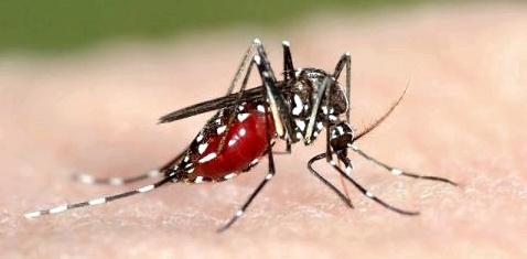 tropische muggen