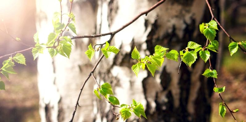 Birkenblätter an einem Ast