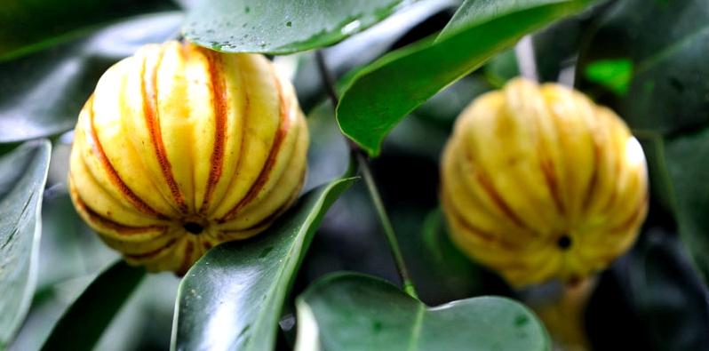 Malabar-Tamarinde