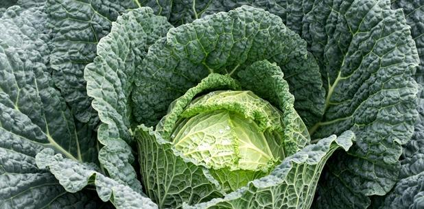 Eine Kohl-Art: Wirsing. Schon 100 Gramm decken den Tagesbedarf an Vitamin C