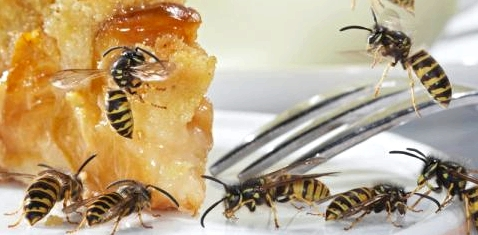 Wespen auf einem Kuchenteller