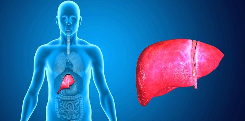 Die Leber ist die Entgiftungszentrale des Körpers