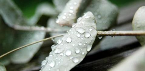 Eukalyptus hilft bei Sommergrippe